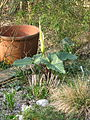 Arum creticum Marmaris White (13163259925).jpg