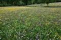 Arvieux, prairies fleuries - img 43324.jpg