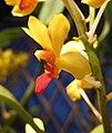 Asconopsis Yih-Cheng Amanda -香港蘭花節 Hong Kong Orchid Festival- (39710826950).jpg