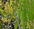 Ashoka (Polyalthia longifolia) flowers W IMG 7050.jpg