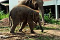 Asia Elephant (141808933).jpeg