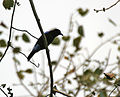 Asian Fairy Bluebird (Irena puella) on Peepal (Ficus religiosa) at Jayanti, Duars, WB W Picture 430.jpg