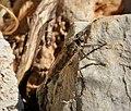 Asilidae Robberfly (26244144188).jpg