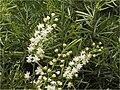 Asparagus aethipicus Sprengeri1SHSU.jpg