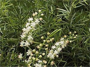 Asparagus (genus) - Image: Asparagus aethipicus Sprengeri 1SHSU