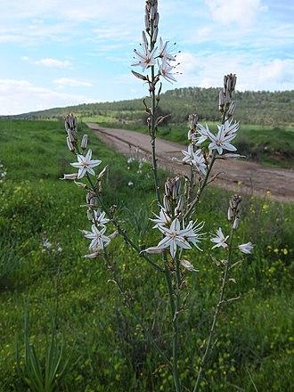 Asphodelus aestivus - Image: Asphodel flowers