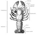 Astacidea - Morfologia Geral.png