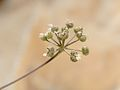 Astomaea seselifolia 1.jpg