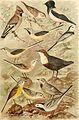 Atlante ornitologico - uccelli europei - con notizie d'indole generale e particolare (1902) (14562870779).jpg