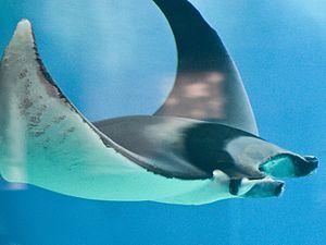 Batoidea - Devil fish, Mobula mobular