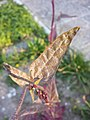 Atriplex hortensis sl6.jpg