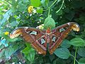 Attacus atlas - NHM 6.jpg