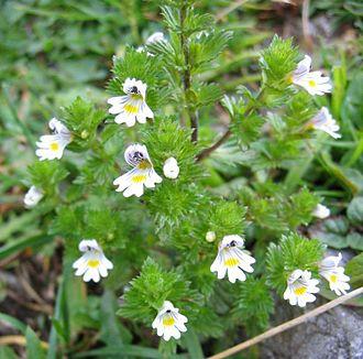 Euphrasia - Euphrasia rostkoviana