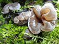 Auricularia mesenterica 3 BG.JPG