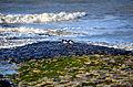Austernfischer auf Wangerooge.JPG