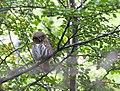 Austral Pygmy Owl Glaucidium nana, Cerro Fitzroy.jpg