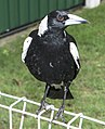 Australian Magpie waiting for food, Queensland (23934590908).jpg