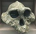 Australopithecus boisei ER 406 IMG 5591 BMNH.jpg