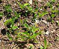 Avalanche Lilies - Flickr - brewbooks (2).jpg