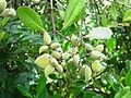 Avicennia officinalis fruit.jpg