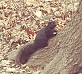 BLACK GRAY SQUIRREL 1- Sciurus carolinensis, the eastern gray squirrel (but this one is black), Central Park NYC.jpeg