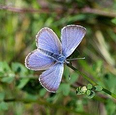 240px blue, silvery (glaucopsyche lygdamus) (4 08 07) canet rd, morro bay, slo co, ca (1) (9422106627)