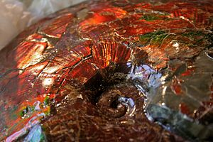 Ammolite ammonite, from the Rocky Mountains of...