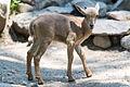 Baby Aoudad Goat (20443282929).jpg