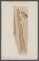 Bacculites vertebralis - - Print - Iconographia Zoologica - Special Collections University of Amsterdam - UBAINV0274 091 02 0007.tif