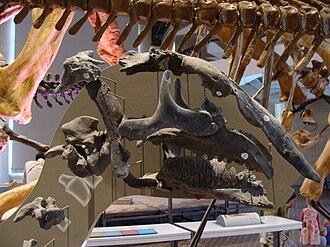 Bactrosaurus - Partial B. johnsoni skull in the Royal Belgian Institute of Natural Sciences.