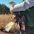Bald Eagle release at Caledon State Park (32290035690).jpg