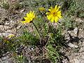 Balsamorhizahookeri.JPG