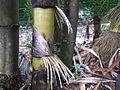 Bamboo - മുള 05.JPG
