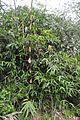 Bambus vulga 160426-0258 ckup.JPG