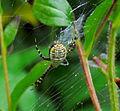Banded Garden Spider (Argiope trifasciata), Ottawa.jpg