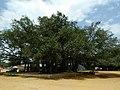 Banyan Mysore 04.jpg