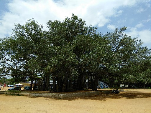 Banyan Mysore 04
