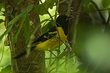 Bar-winged Oriole - Chiapas - Mexico S4E7324 (23521447649).jpg