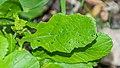 Barbarea vulgaris in Causse Comtal (1).jpg