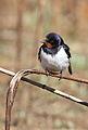 Barn swallow, Hirundo rustica, at Suikerbosrand Nature Reserve, Gauteng, South Africa (23374882925).jpg