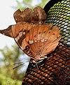 Baronet Euthalia nais UN by Dr. Raju Kasambe DSCN9440 (8).jpg