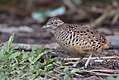Barred Buttonquail or Common Bustard-Quail (Turnix suscitator).jpg
