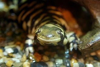 Mole salamander - Tiger salamander (Ambystoma tigrinum)