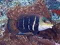 Barred thicklip (Hemigymnus fasciatus) (46387009994).jpg