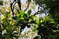 Barringtonia racemosa, loof, Laeveld NBT.jpg