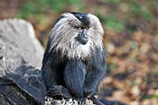 Bartaffe, Lion-tailed Macaque, (Macaca silenus) - Zoo Leipzig 02.jpg