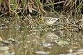 Basai Wetland Gurgaon DSC9363 citrine wagtail.JPG