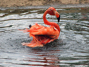 Bathing american flamingo in the Moscow zoo.