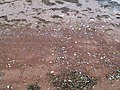 Beach detail, Rustico Bay, PEI (33633246444).jpg
