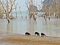 Bearded Pigs (Sus barbatus) juvenile (8221130682).jpg